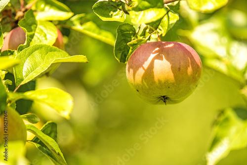 Fototapeta jabłko jablko-na-galazce