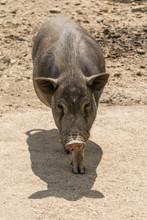 One Pot Bellied Pig (sus Scrofa) - Vietnamese Pig