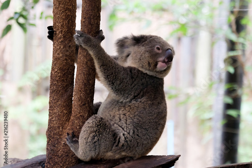 Staande foto Koala koala bear in forest zoo at Thailand