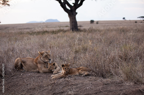 Fotografie, Obraz  Cuccioli di leone leoncini nel parco nazionale del Serengeti in Tanzania