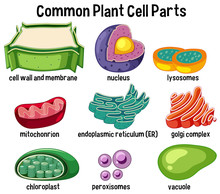 Common Plant Cell Parts
