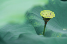 Lotus Leaf And Seed