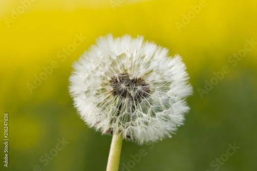 Tela  Beautiful and detailed of single dandelion
