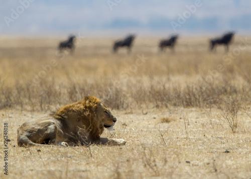 Zdjęcie XXL Lew w Serengeti parku w sawannie