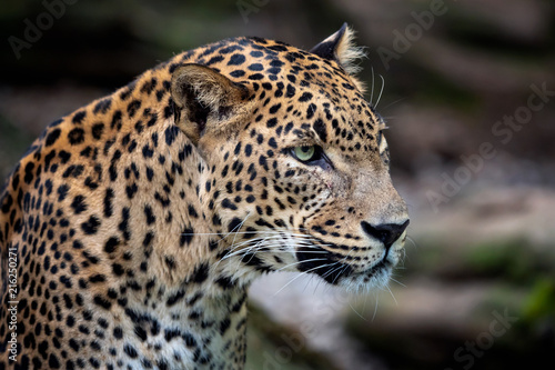 Ceylon leopard, Panthera pardus kotiya, Big spotted cat