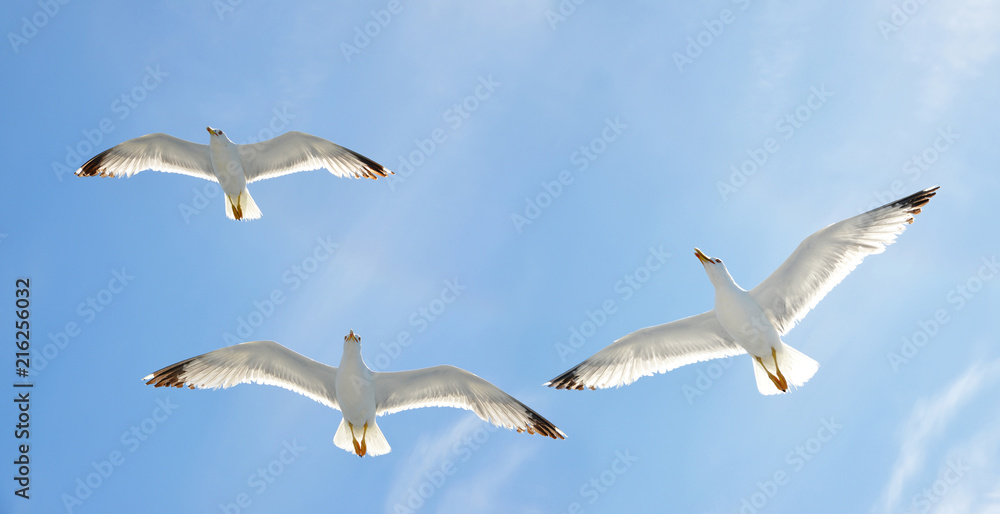 Flying flock of seagull with blue sky in the background.