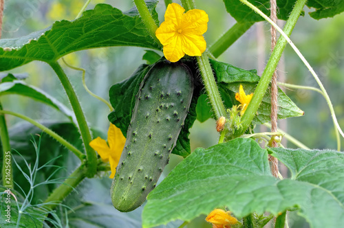 Photo  Green cucumber on a branch with yellow flowers