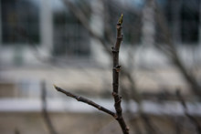 Plant Branch In Winter, Ficus Carica Moraceae Withouth Leaves