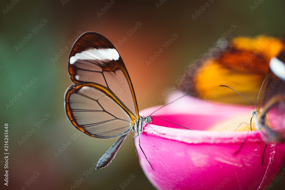 Butterfly with transparent wings, which setting on food feeder.
