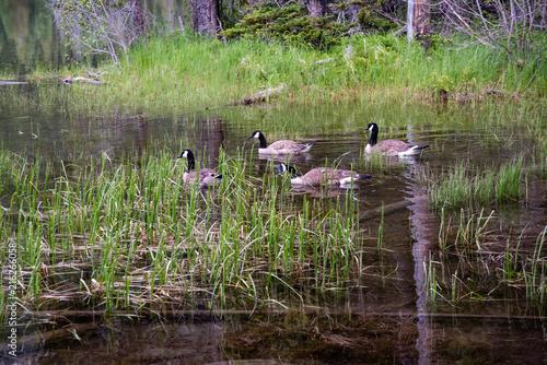 Fotografie, Tablou Gaggle of Geese
