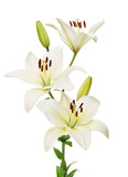 kwiat lilii