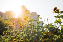Environnement Jardin Fleur Ville Quartier Urbain Tournesol Ensoleillé Soleil Pousser Vert Nature