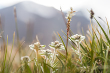 Alpine Meadow With Edelweiss A...