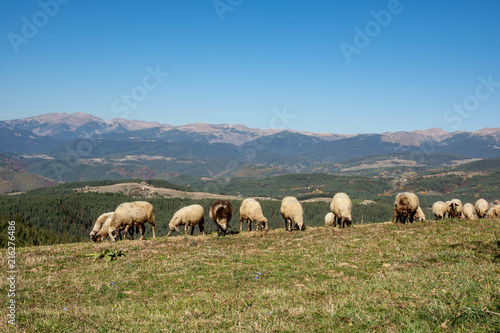 Foto op Aluminium Schapen Flock of sheep in green field near mountains.