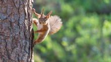 Red Squirrel Climbing On A Tree