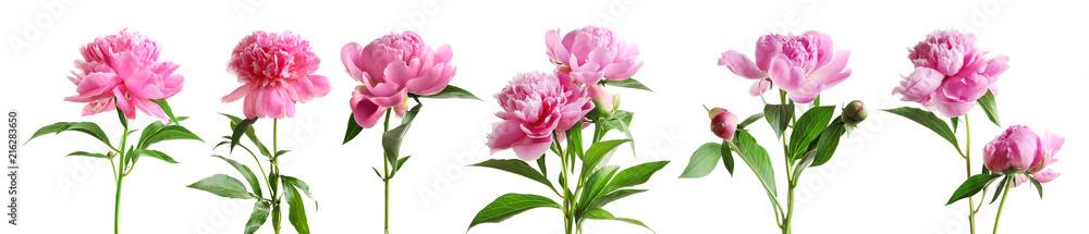 Fototapeta Set of beautiful peony flowers on white background