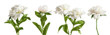 Set Of Beautiful Peony Flowers...