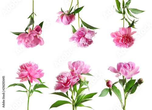 Set of beautiful peony flowers on white background