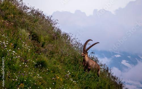 majestic animal old and wise alpine capricorn Steinbock Capra ibex the swiss alp Fototapet