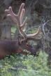Elk feeding in the forest Canada