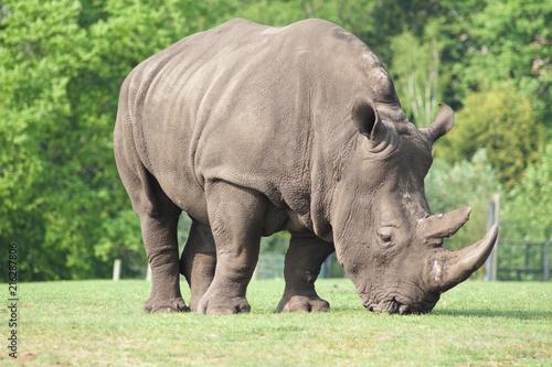 Staande foto Neushoorn Rhino