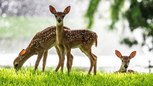 Three Fawns In The Sunlight!