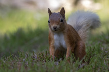 Red Squirrel, Sciurus Vulgaris, Searching For And Eating Nuts In A Pinewood Glade During A Sunny Morning. Caringorm NP, Scotland.