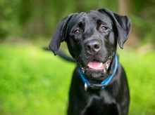 A Black Labrador Retriever Dog With A Happy Expression