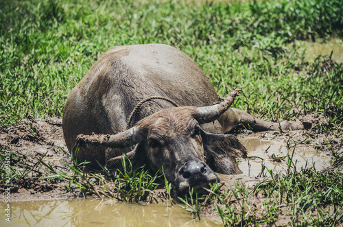 Staande foto Buffel Buffalo Thai Agricultural Livestock Countryside and fields