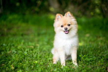 A Purebred Pomeranian Puppy With A Happy Expression