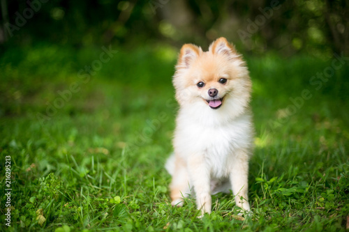 A Purebred Pomeranian Puppy With Hy Expression Comprar