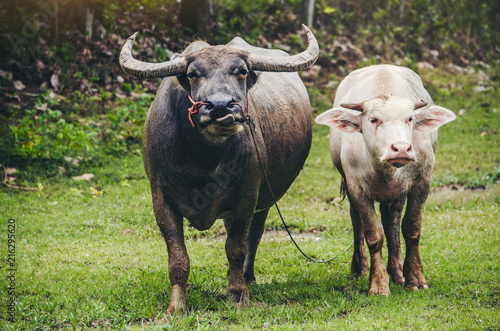 In de dag Buffel Buffalo Thai Agricultural Livestock Countryside and fields
