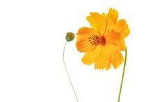 Mädchenauge (Coreopsis Grandiflora), Freigestellt