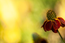 Red Mexican Hat Flower