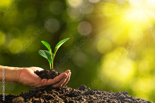 Fototapeta closeup hand of person holding abundance soil with young plant in hand   for agriculture or planting peach nature concept. obraz