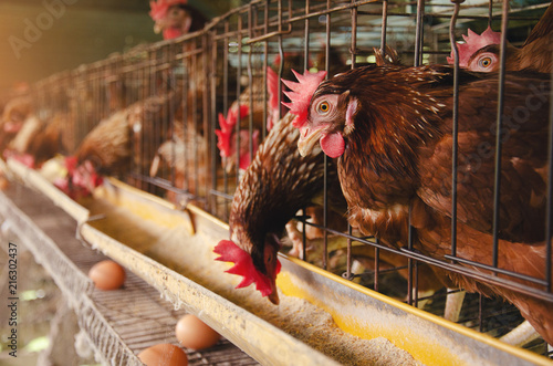 Keuken foto achterwand Kip Close-Up Of Rooster In Cage Livestock in industrial farm