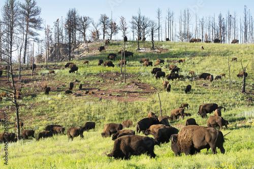 Staande foto Buffel Bison