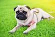 canvas print picture - Cute brown fat Pug feel sad in garden