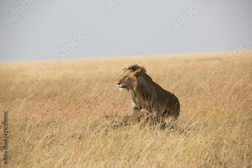 Photo  Löwe (Panthera leo)