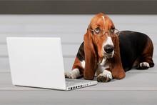 Basset Hound Using A Laptop Computer
