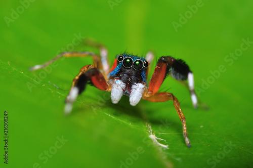Plakat piękne kolorowe pająk skoczek