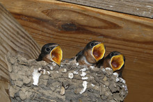 Barn Swallow Chicks (Hirundo R...