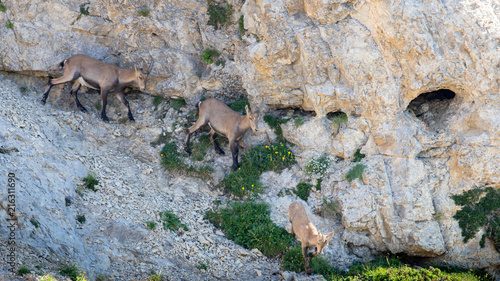 Des bouquetins descendent la falaise abrupte Wallpaper Mural