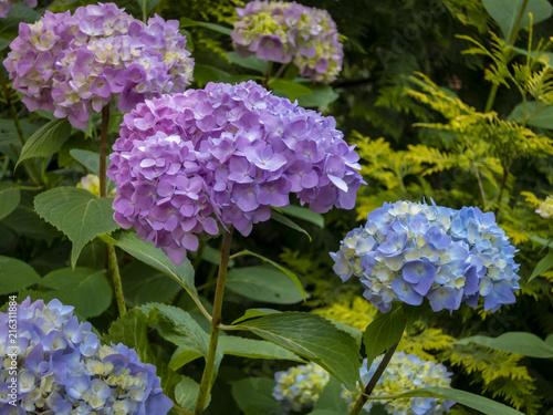 Foto op Plexiglas Hydrangea Macro of multicolored pink and blue flowers of hydrangea macrophylla against the background of the flowering bush of hydrangea