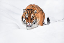 Close Up Portrait Of Siberian Tiger In Winter Snow