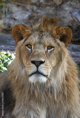 Foto op Plexiglas Leeuw Close up portrait of young male African lion