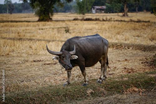 Fotobehang Buffel Buffalo and Straw