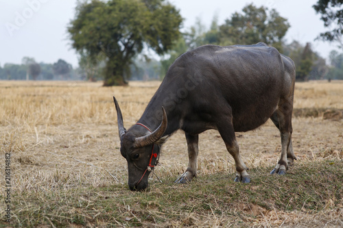 Staande foto Buffel Buffalo and Straw