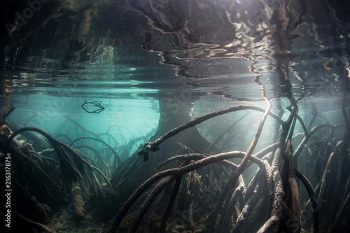 Carta da parati  Shadows, Sunlight, and Mangrove Roots in Blue Water Mangrove Forest