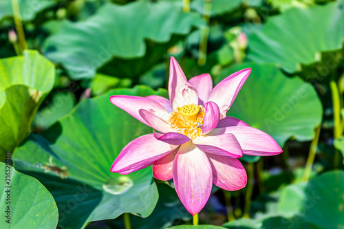 Macro Closeup Of Bright White And Pink Lotus Flower With Seedpod